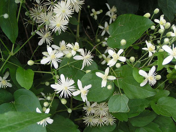 Les plantes piquantes et urticantes . Clematite-sauvage