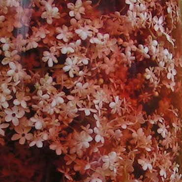 les fleurs de sureau dans le vinaigre